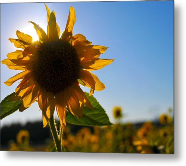 Sun And Sunflower Metal Print