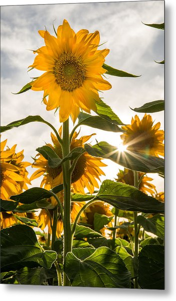 Sun And Sunflowers Metal Print