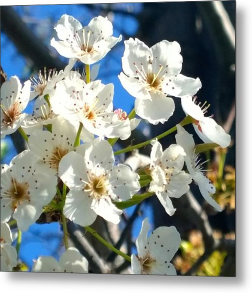 #sun Drenched #tree #blossoms So Sweet Metal Print