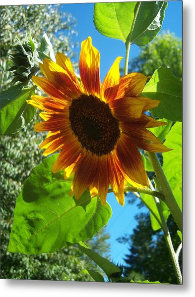 Sunflower 101 Metal Print by Ken Day