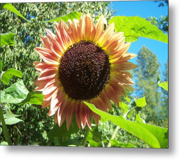 Sunflower 107 Metal Print by Ken Day