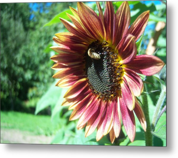 Sunflower 109 Metal Print by Ken Day