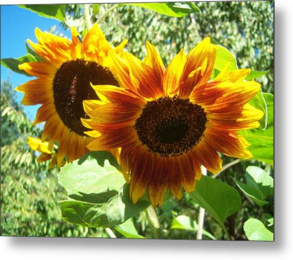 Sunflower 115 Metal Print by Ken Day