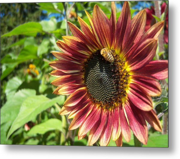 Sunflower 129 Metal Print by Ken Day