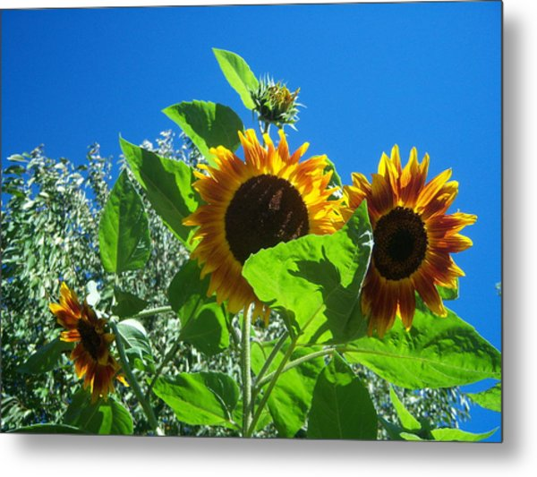 Sunflower 131 Metal Print by Ken Day