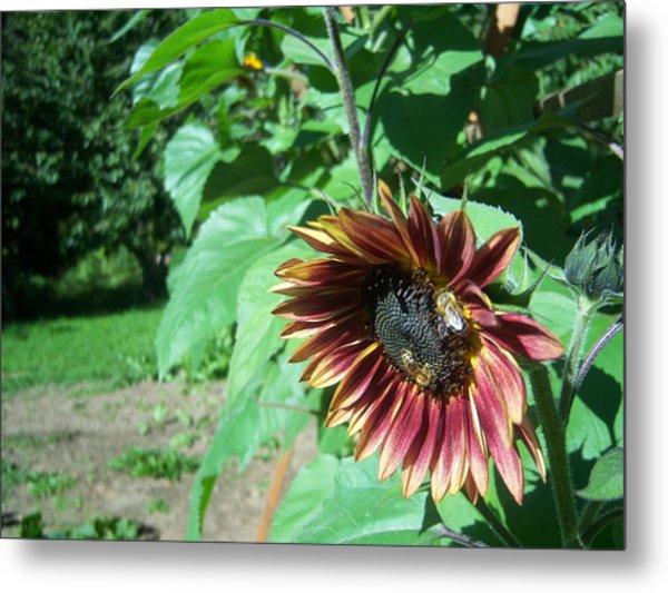 Sunflower 134 Metal Print by Ken Day