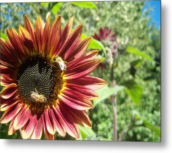 Sunflower 135 Metal Print by Ken Day