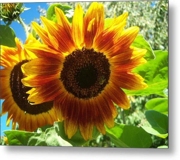 Sunflower 140 Metal Print by Ken Day