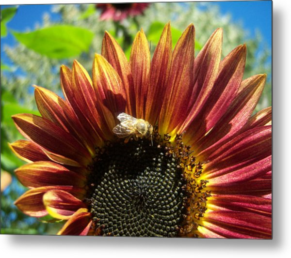 Sunflower 146 Metal Print by Ken Day
