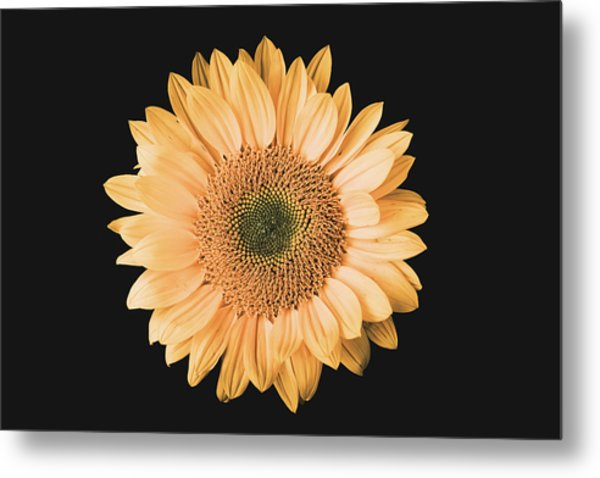 Sunflower #6 Metal Print