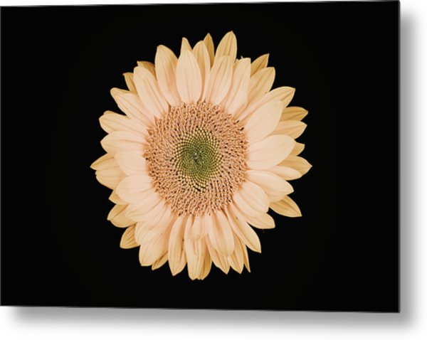 Sunflower #9 Metal Print