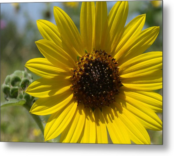 Sunflower 9  Metal Print by James Granberry