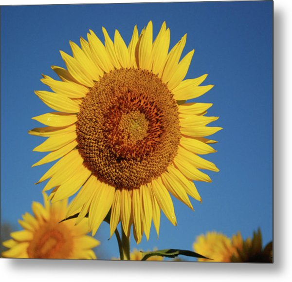 Sunflower And Blue Sky Metal Print