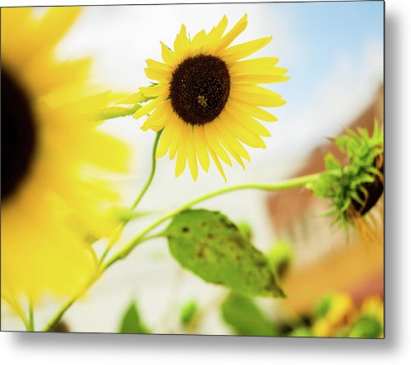 Sunflower And The Bee Metal Print