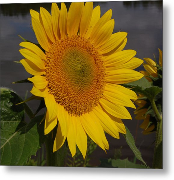 Sunflower Metal Print by Audrey Venute