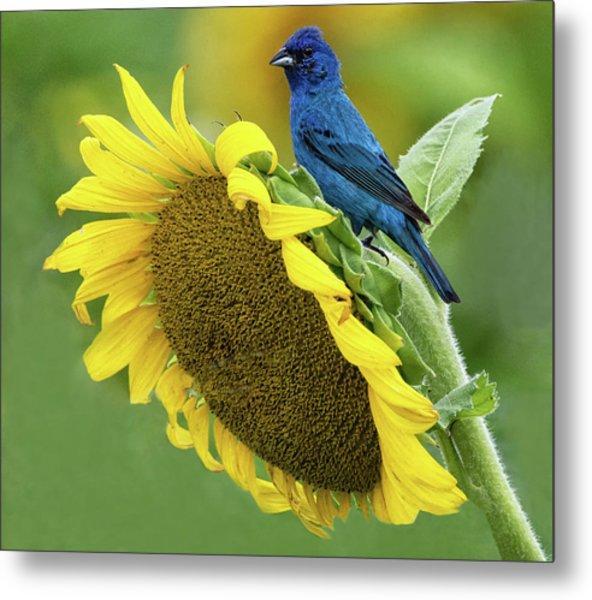 Sunflower Blue Metal Print