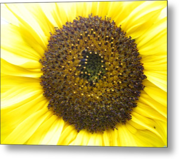 Sunflower Close Up Metal Print