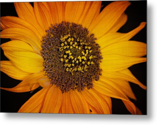 Sunflower Glory Metal Print