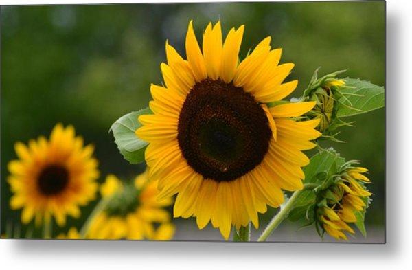 Sunflower Group Metal Print