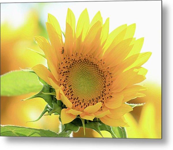 Sunflower In Golden Glow Metal Print