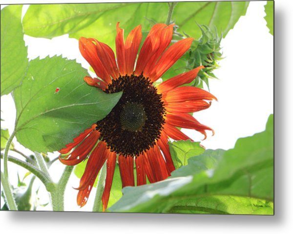 Sunflower In The Afternoon Metal Print