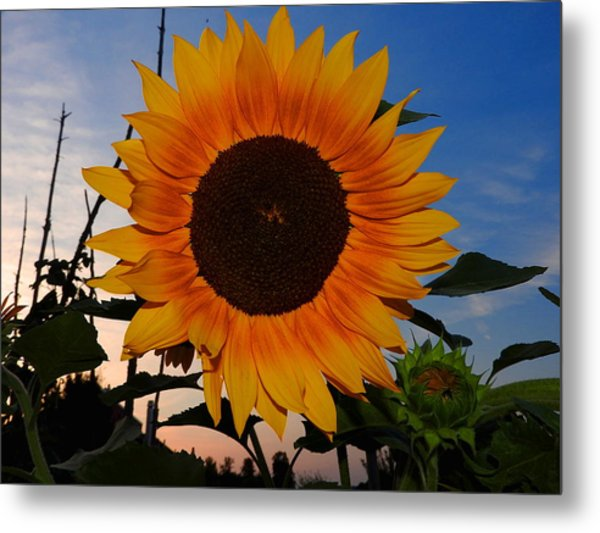 Sunflower In The Evening Metal Print