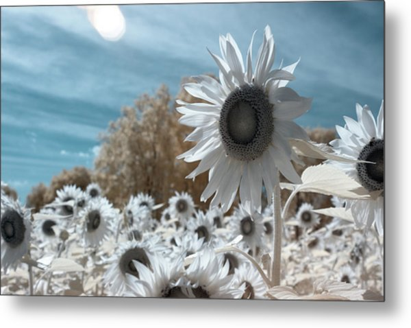 Sunflower Infrared  Metal Print