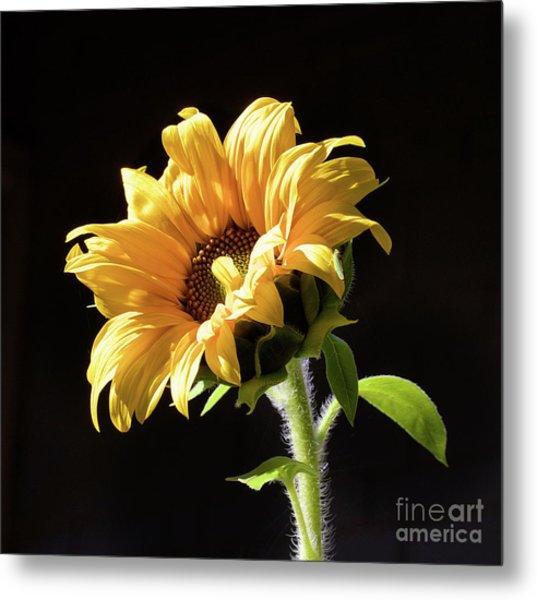 Sunflower Isloated On Black Metal Print