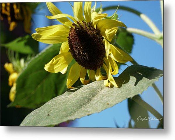 Sunflower, Lemon Queen, With Pollen Metal Print