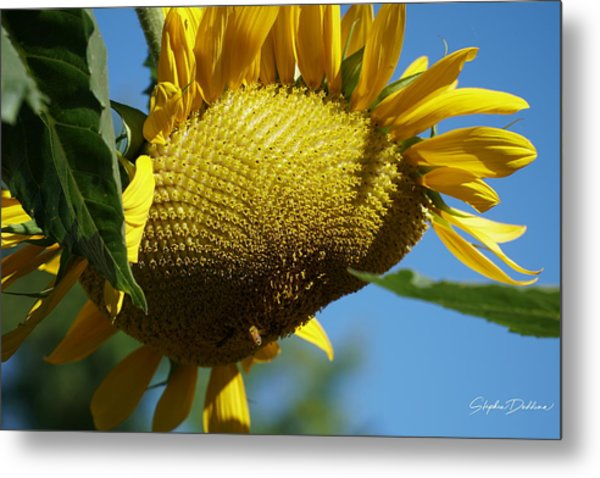 Sunflower, Mammoth With Bees Metal Print