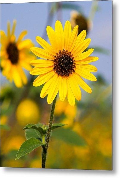 Sunflower Metal Print by Mark Weaver