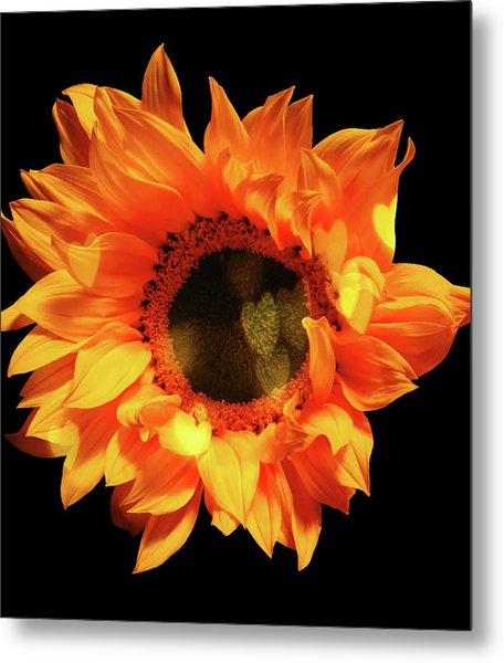 Sunflower Passion Metal Print