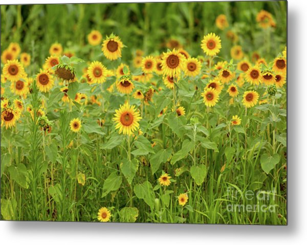 Sunflower Patch Metal Print