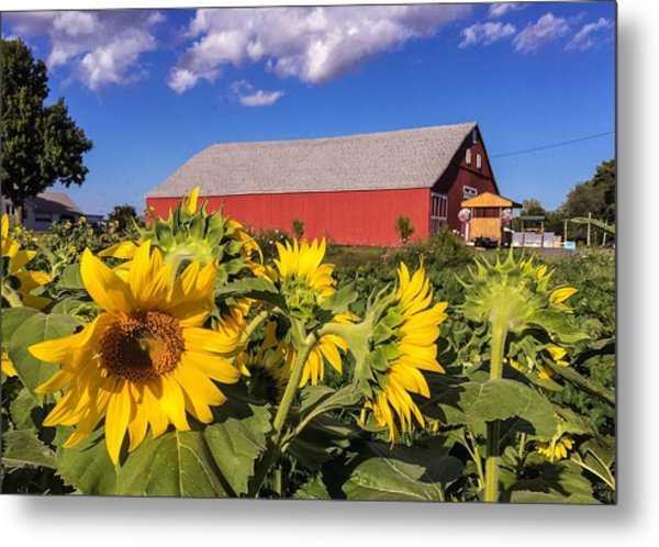 Sunflower Red Barn Metal Print
