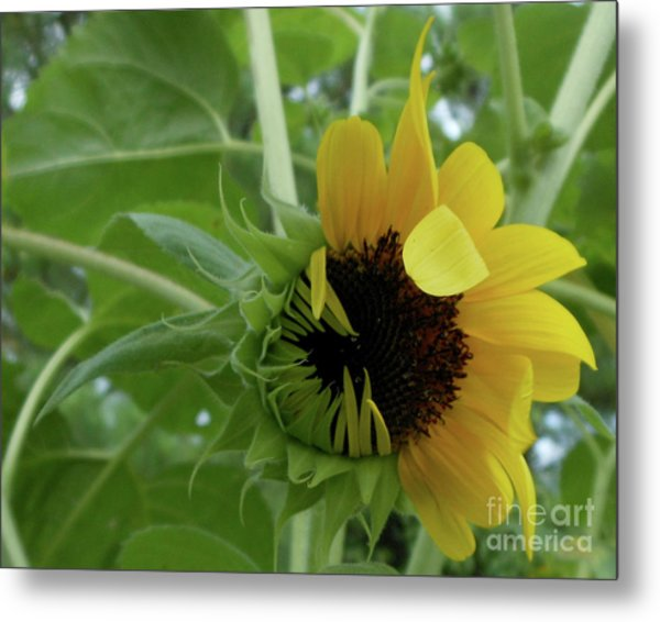 Sunflower Rising Metal Print