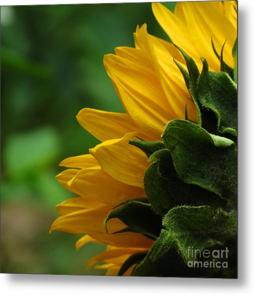 Sunflower Series I Metal Print