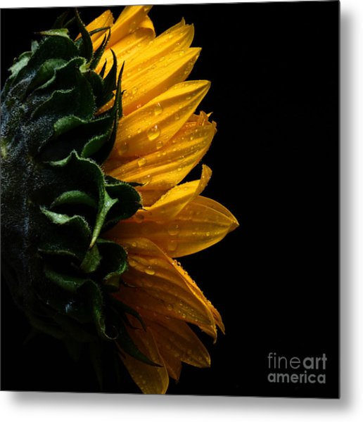 Sunflower Series IIi Metal Print