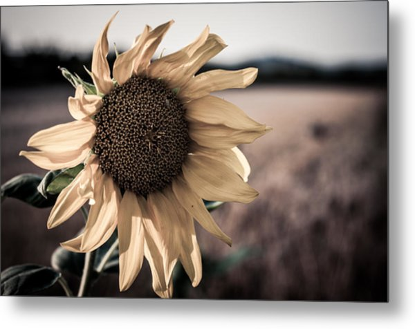 Sunflower Solitude Metal Print