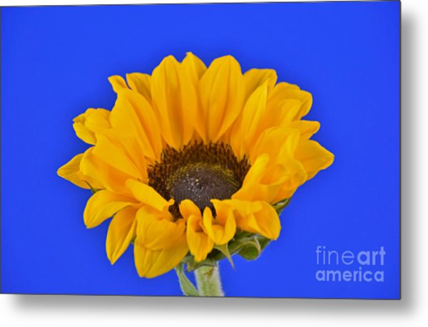Sunflower Sunshine 406-6 Metal Print