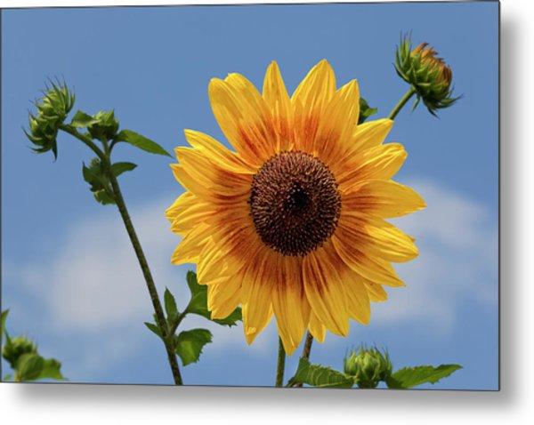 Sunflower Surprise Metal Print by Robert Ullmann
