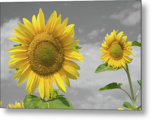 Sunflowers V Metal Print