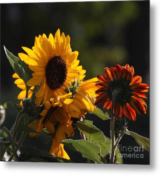 Sunflowers 8 Metal Print