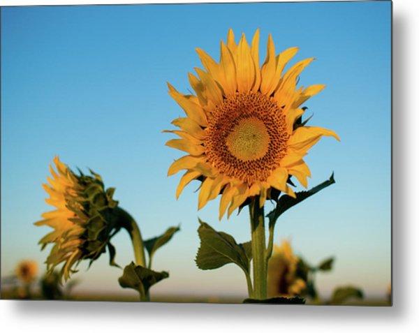 Sunflowers At Sunrise 1 Metal Print