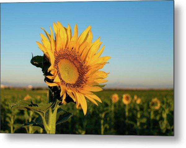 Sunflowers At Sunrise 2 Metal Print
