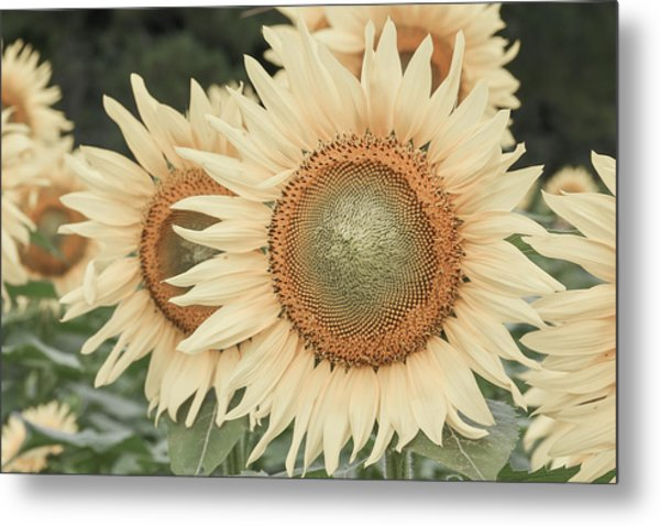 Sunflowers Detail Metal Print