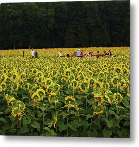Sunflowers Everywhere Metal Print