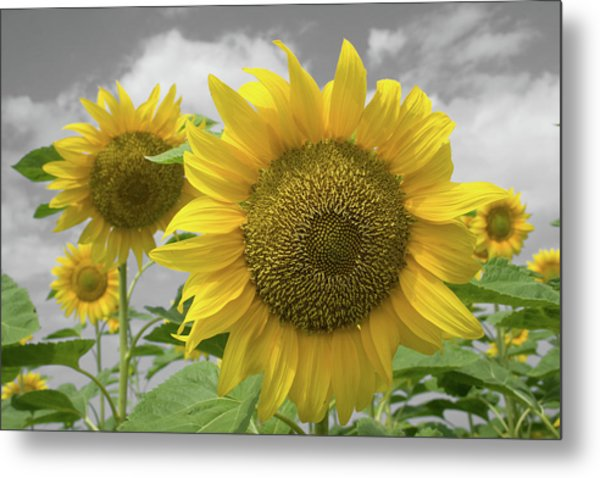 Sunflowers IIi Metal Print