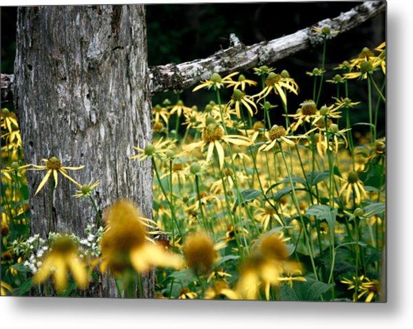 Sunflowers In North Carolina 2 Metal Print by Jonathan Hansen