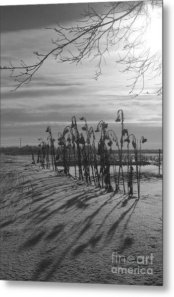 Sunflowers In The Winter Sun Metal Print