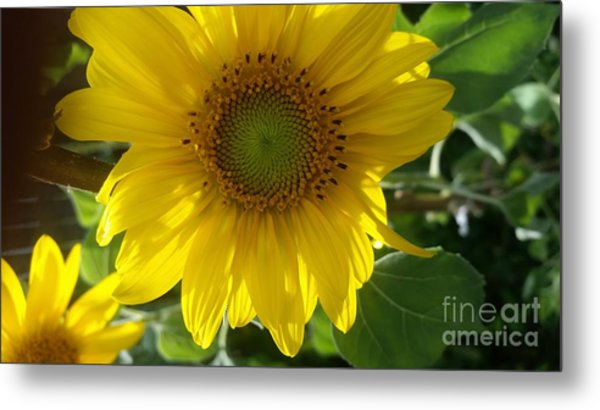 Sunflowers-just Bloomed Metal Print